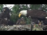 UPDATE 20 June 2017  - Amazing Hawk Eagle Nest Feeding  (Sidney nest)