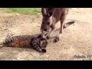ПРИКОЛЫ С ЖИВОТНЫМИ подборка смех до слез 2017 Funny Cats 16