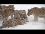 Амурские тигры из китайского зоопарка устроили охоту на дроны Рифмы и Панчи