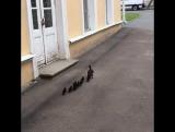 Молодое пополнение петергофских уток марширует в сторону столовой на завтрак