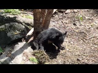 Приморский Сафари-парк. Парк гималайских медведей в июле 2017 г.