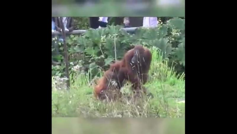Детёныш орангутана пытается сбежать от опеки папочки.Bebé orangután continuamente trata de escapar de su padre una y otra vez.
