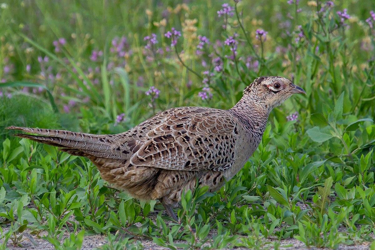 ассортимент фазан фото птицы самка привет, сегодня