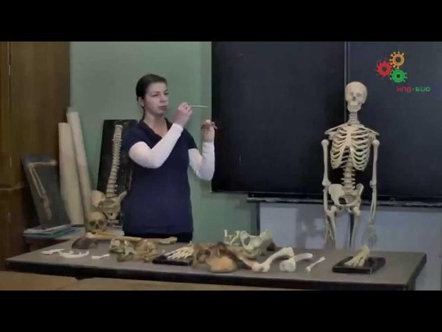 Анатомия человека Строение скелета И Синёва