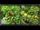 Чем порадовать ягодные кустарники в период вызревания плодов