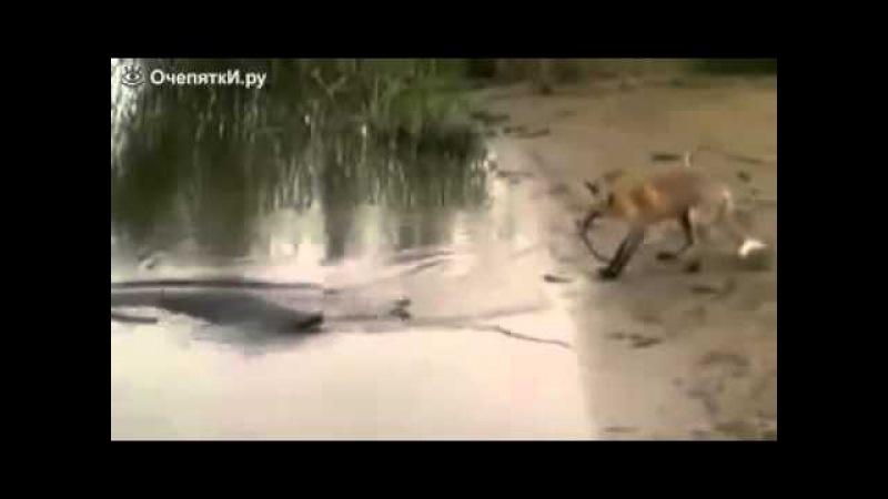 МЕГА ПРИКОЛ Лисица тащит сома из воды