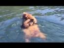 Мамы такие мамы! Два медвежонка гризли переплывают реку, сидя верхом на медведице