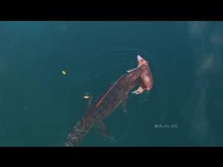 Огромный крокодил плывёт с добычей