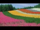 [HD] Furano Lavender story (Farm Tomita)富良野・ファーム富田のラベンダー物語 Flowers Gardenの名 251