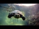 A very friendly Spanish pond turtle Mauremys leprosa