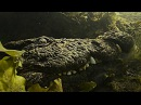 Okavango Crocodile underwater riding