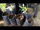 Выращивание хурмы виргинской из семян