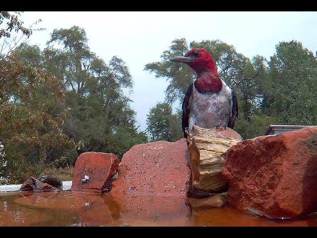 Woodpecker makes Bird Bath his own Spa.