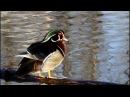 Wood Duck Каролинка Aix sponsa