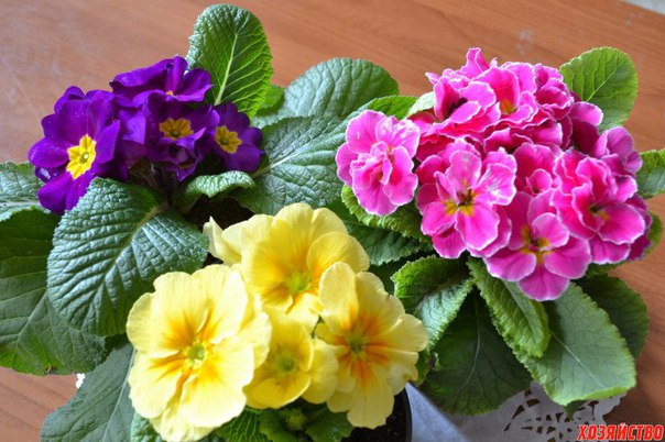 Примула – весны прекрасный
