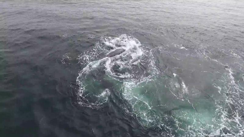 Косатки атакуют самку серого кита с детёнышем и убивают детёныша.
