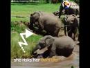 Отважная и очень умная слониха не дала течению унести своего малыша!