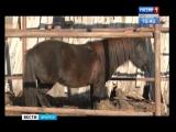Бродячие собаки загрызли пони в Ангарске
