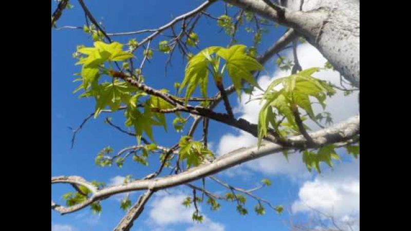 Апрельский день, фотиния, японский клен, алые розы, тутовое дерево, Андалусия, 13/04...