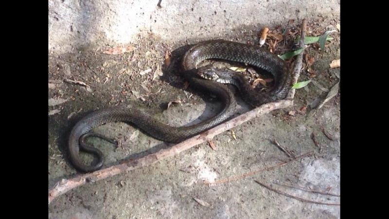 Черкаси Пушкінський пляж - змія їсть жабу !
