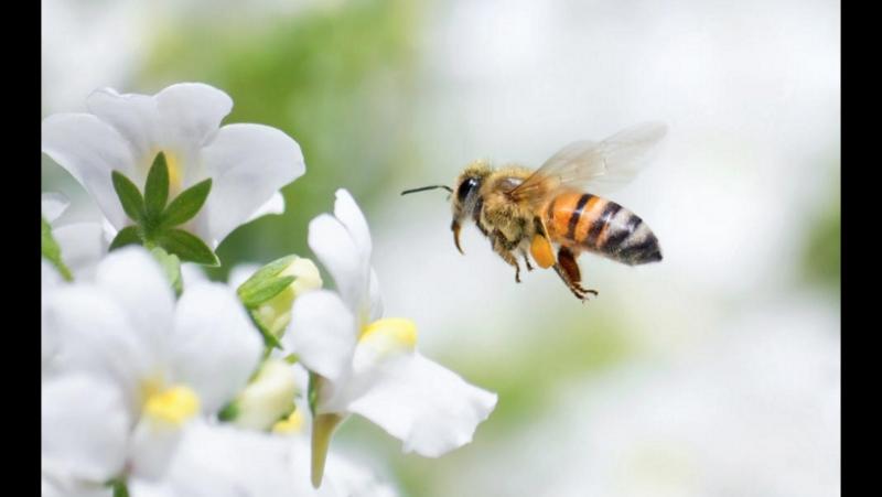 Пчеловодство ''Ян Фэн''. Пасека ''ФэнФан''. Особый подвид медоносных Пчёл ''Хэй Фэн'', дословно ''чёрные Пчёлы''. Технология раз
