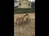 Собачье бои