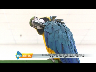 РЕН Новости Псков 23.12.2016 Парад обезьян ТРК Акваполис до 22 января 2017