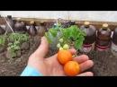 ранние урожай к 9 маю в Брянской области , первые томаты 2017 года
