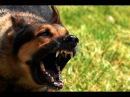Жесткий собачий бой!