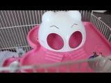 Уборка в клетке у Бусинки 2. HOW TO CLEAN A HAMSTER CAGE 2