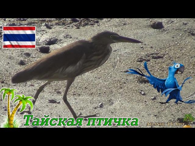 Тайская птичка с длинным клювом и языком у озера Тайланд остров Пхукет Bird Phuket Thail...