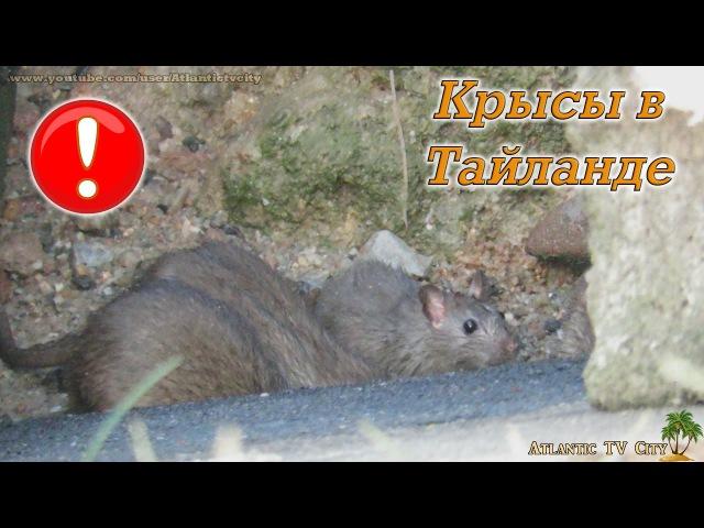 ОСТОРОЖНО! Крысы в Тайланде Пхукет Это Тай Крысы на рынке у пляжа Най Харн Rats Phuket ...