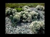 Sea kale (Crambe maritima) at Cemlyn, Anglesey