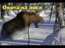Охота на лося с собаками на севере Швеции