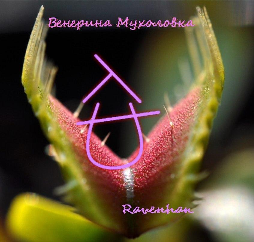 Венерина Мухоловка  Ravenhan   C_WS9n2My9Y
