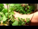 Стевия - выращиваем лечебную медовую траву на подоконнике !