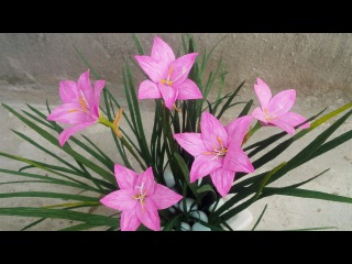 ABC TV | How To Make Rain Lily Paper Flowers From Crepe Paper - Craft Tutorial