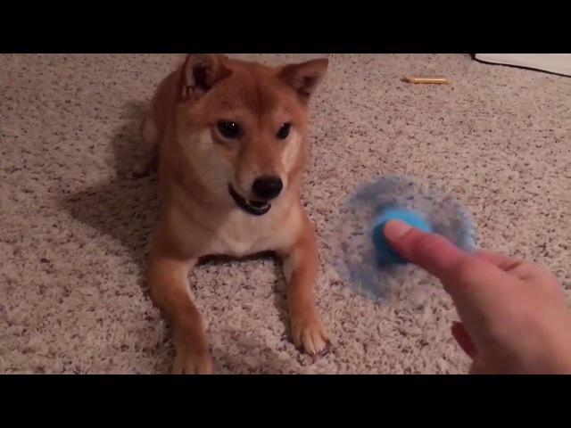 Shibe doesn't like fidget spinner