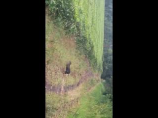 Чёрный агути на чайной плантации Сангай
