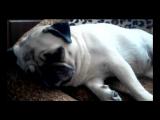 так спит мопс