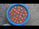 Как вырастить помидоры из семян свежих томатов. Этап 1