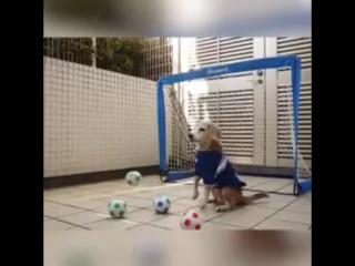 Собака-мячи-отбивака. Играет лучше сами-знаете-кого-из-города-на-Неве