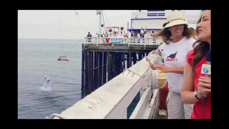 Хотели вернуть в океан, однако акула не позволила.