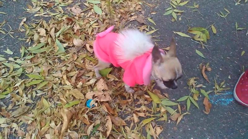 Моя мини чихуашка Мася в гламурной кофтачке♡♡♡ ♥♥♥ ღღღ