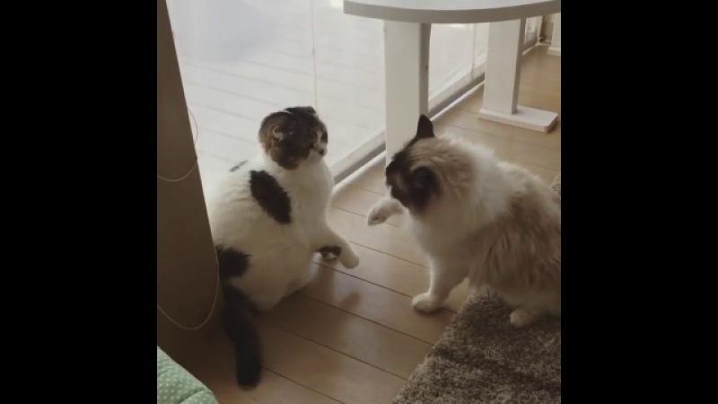 Драка вежливых котов - видео ролик смотреть на » Freewka.com - Смотреть онлайн в хорощем качестве