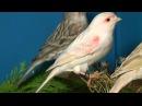 Волшебное пение кенара Звуки природы Пение птиц Magic singing of Kenar Sounds of nature birds