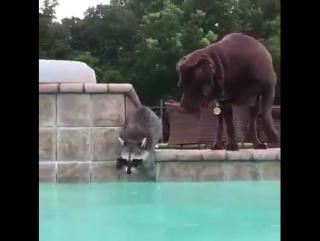 Енот плавает и катается на собаке )))