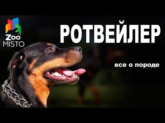 Ротвейлер Все о породе собаки Собака породы Ротвейлер