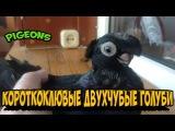 КОРОТКОКЛЮВЫЕ ДВУХЧУБЫЕ ЧЕРНЫЕ ГОЛУБИ ЖУКИ Pigeons Taube doves dove