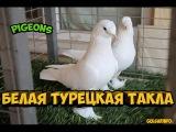 БЕЛАЯ ТУРЕЦКАЯ ТАКЛА ГОЛУБИ Pigeons Taube doves dove